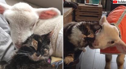 猫と羊の熱い友情、猫は羊化が進む