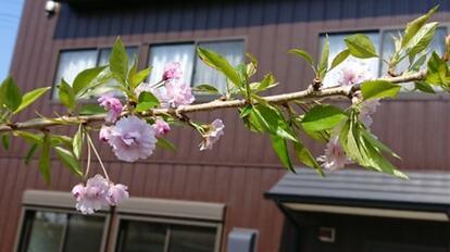 シンボルツリーの枝垂れ桜