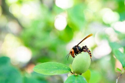 オオスズメバチの成虫は意外なことに花蜜・樹液と幼虫の分泌液のみを食べる植物食です