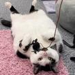 『盗み食いする10キロ超の肥満猫、飼い主は冷蔵庫に鍵をつける羽目に(英)<動画あり>(5コメント)』のサムネイル